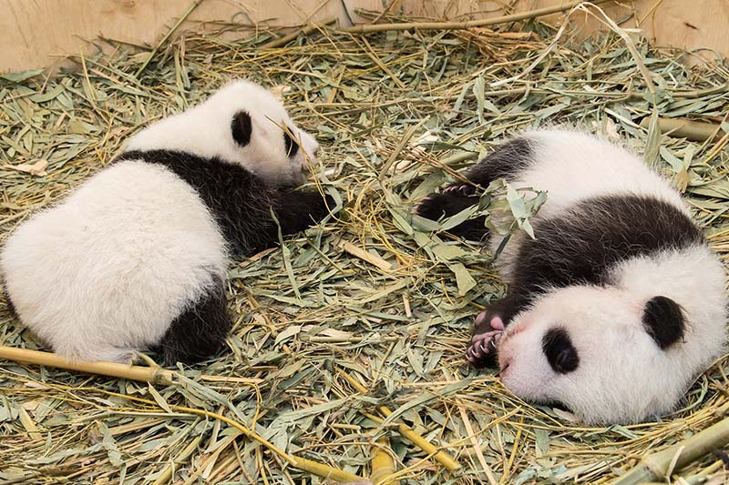 Twin panda cubs, which were born on August 7, 2016, are seen in a breeding box inside their enclosure at Schoenbrunn Zoo in Vienna, Austria on September 28, 2016. Photo: Schoenbrunn Zoo via Reuters
