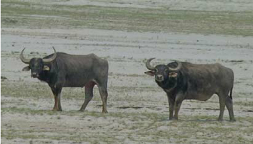 Wild or backcrossed hybrid water buffalo bulls in the Koshi Tappu Wildlife Reserve. Photo courtesy: researchgate.net