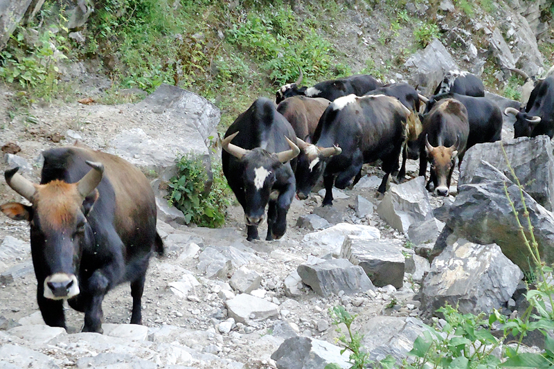 Locals of Karan VDC in Mugu district use yaks to transport essentials goods from Gamgadhi, the district headquarters, as captured on Friday, September 30, 2016. Photo: RSS