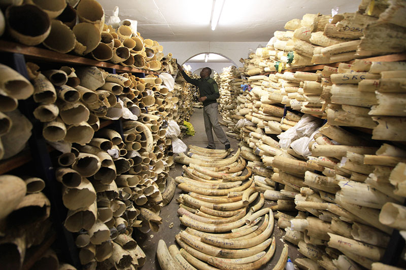 FILE - A Zimbabwe National Parks official is seen inspecting the country's ivory stockpile at the Zimbabwe National Parks Headquarters in Harare, Zimbabwe, on Thursday, June 2, 2016. Photo: AP