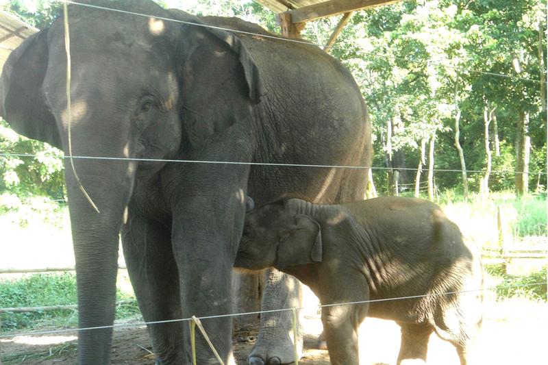 An elephant calf sucks milk from the mother, in Sauraha of Chitwan, on Sunday, September 18, 2016. Photo: RSS