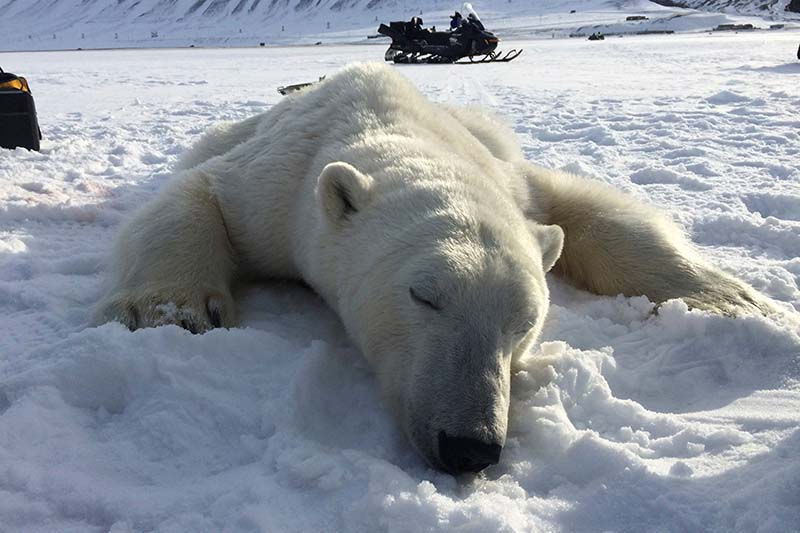 A three year-old male polar bear after it was sedated near Longyearbyen, Norway, on April 22, 2016. Photo: Governor of Svalbard Office via Reuters