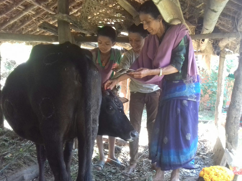 A woman worshipping cow on the occasion of Laxmi Puja, the third day of Tihar festival, in Lekhnath Municipality of Kaski district, on Sunday, October 30, 2016.
