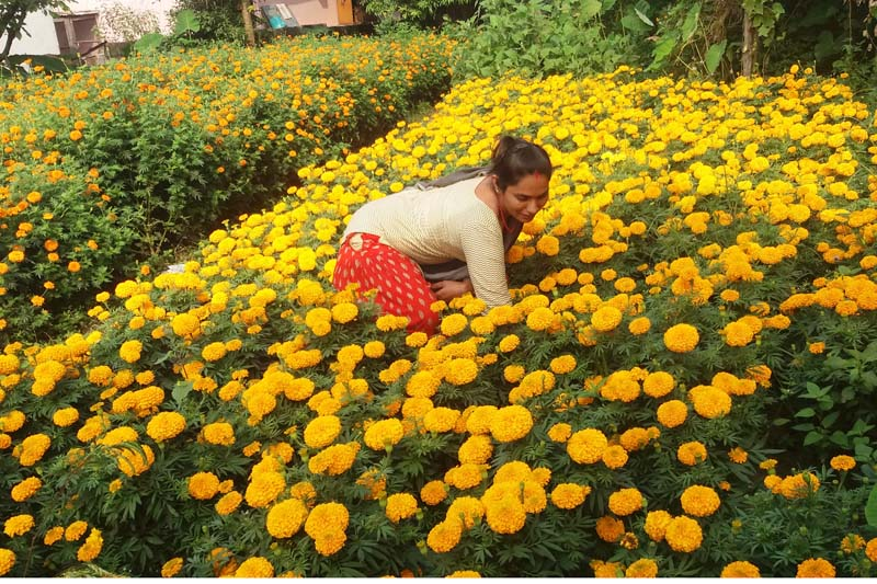A floriculturist takes cares of marigold flowers in Birauta, Pokhara-17 on Wednesday, October 19, 2016. She is preparing to sell the flowers in the upcoming Tihar festival. Photo: RSS