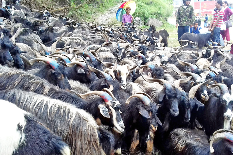 Mountain goats being brought to Pokhara for the  Dashain festival in Pokhara, on Thursday, October 6, 2016. Photo: RSS