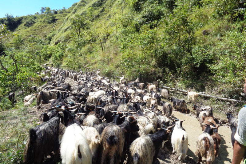 Droves of mountain goats and sheeps being shepherded from Mustang district to other districts via Myagdi, on October 4, 2016. There's an increased demand for the animals this Dashain festival. Photo: RSS