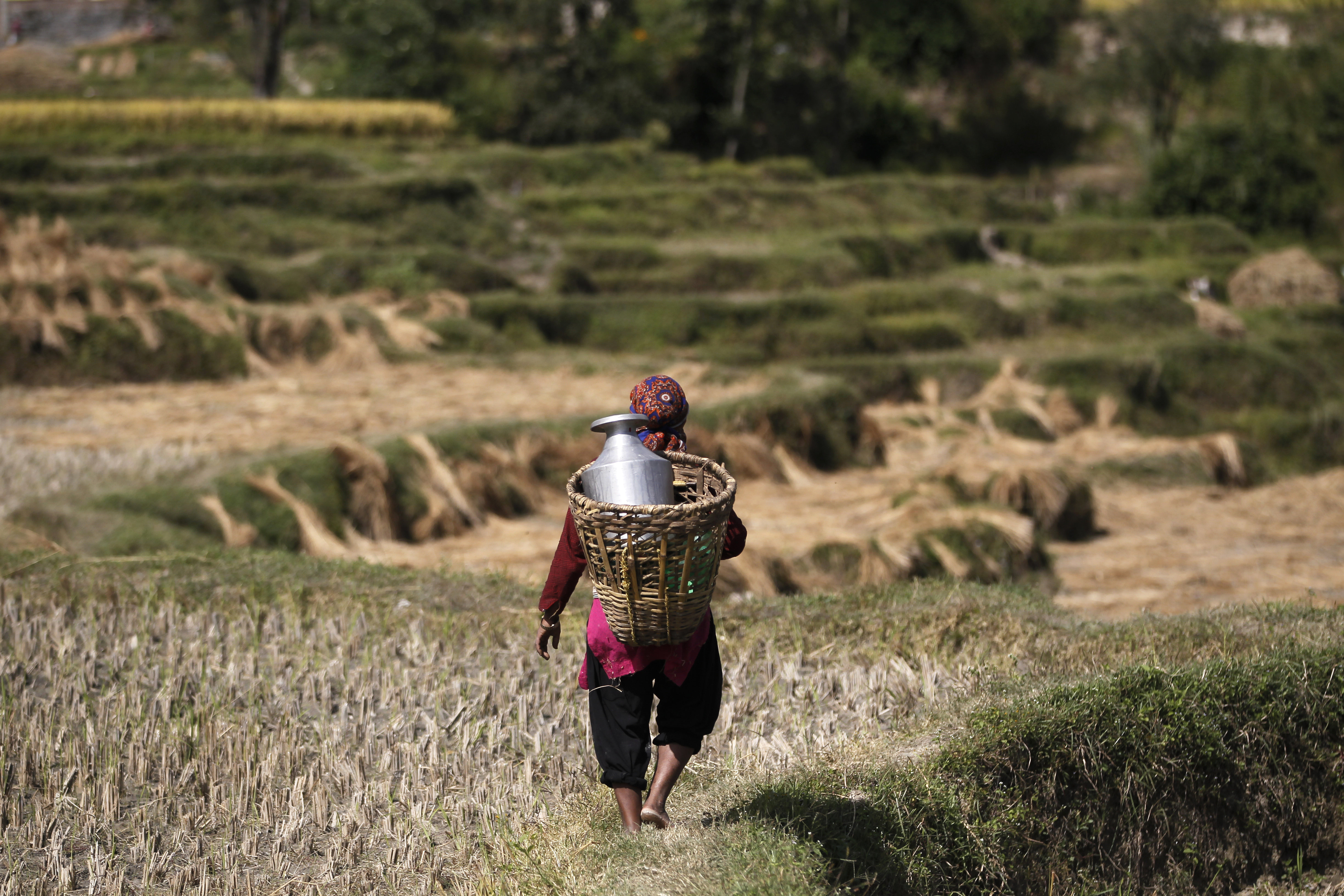 A Nepalese farmer walks to fill water in a vessel while harvesting paddy in Chunnikhel, on the outskirts of Kathmandu, Nepal, Wednesday, Oct. 19, 2016. According to the World Bank, agriculture is the main source of food, income, and employment for the majority in Nepal. (AP Photo/Niranjan Shrestha)