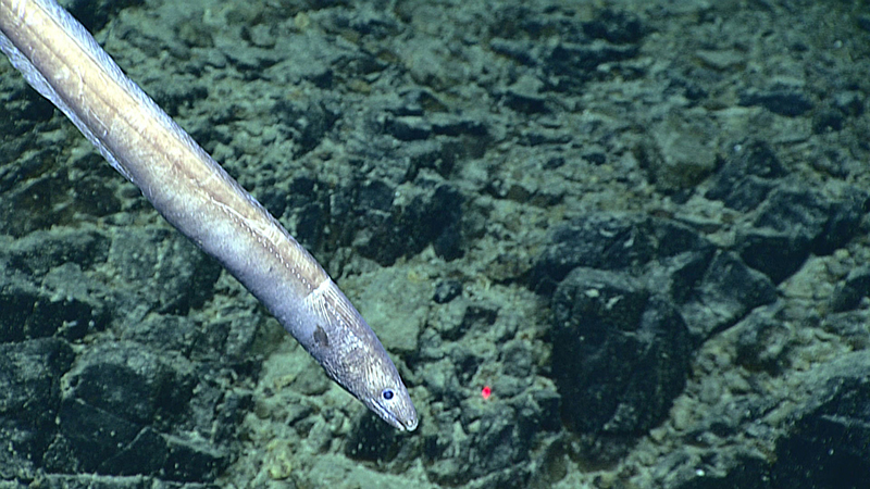 A cutthroat eel at 3,145 metres (1.9 miles) deep on Stegasaurus Ridge, during a deepwater exploration of the Marianas Trench Marine National Monument area in the Pacific Ocean near Guam and Saipan, on June 27, 2016. Photo: NOAA Office of Ocean Exploration and Research via AP