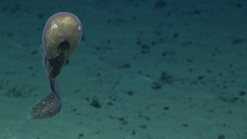 A cusk eel with an unusual bulbous head shape with small eyes, large nostrils, and a mouth placed low on the head, during a deepwater exploration of the Marianas Trench Marine National Monument area in the Pacific Ocean near Guam and Saipan, on June 29, 2016. Photo: NOAA Office of Ocean Exploration and Research via AP