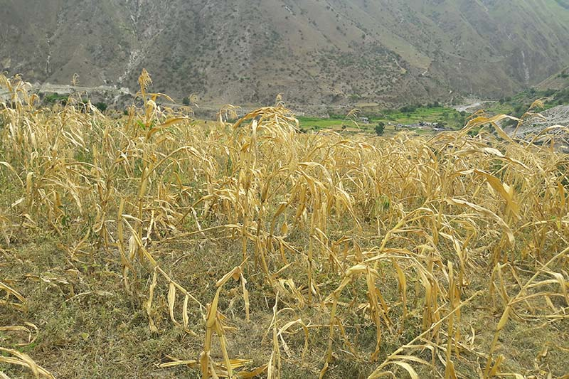 Withered crops seen in a field of Bajura as the district experienced a long drought, in 2016. Photo: Prakash Singh/ THT