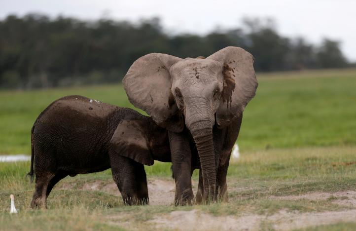 FILE: An elephant breastfeeds its young one at the Amboseli National Park, southeast of Kenya's capital Nairobi, April 25, 2016. REUTERS/Thomas Mukoya/File Photo