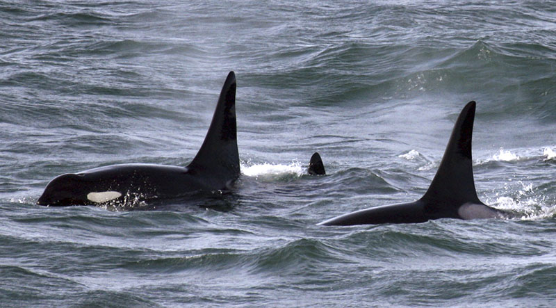 FILE - An orca whale known as L95 (right) swims with other whales from the L and K pods in the Pacific Ocean near the mouth of the Columbia River near Ilwaco, in Washington, on February 27, 2016. Photo: AP