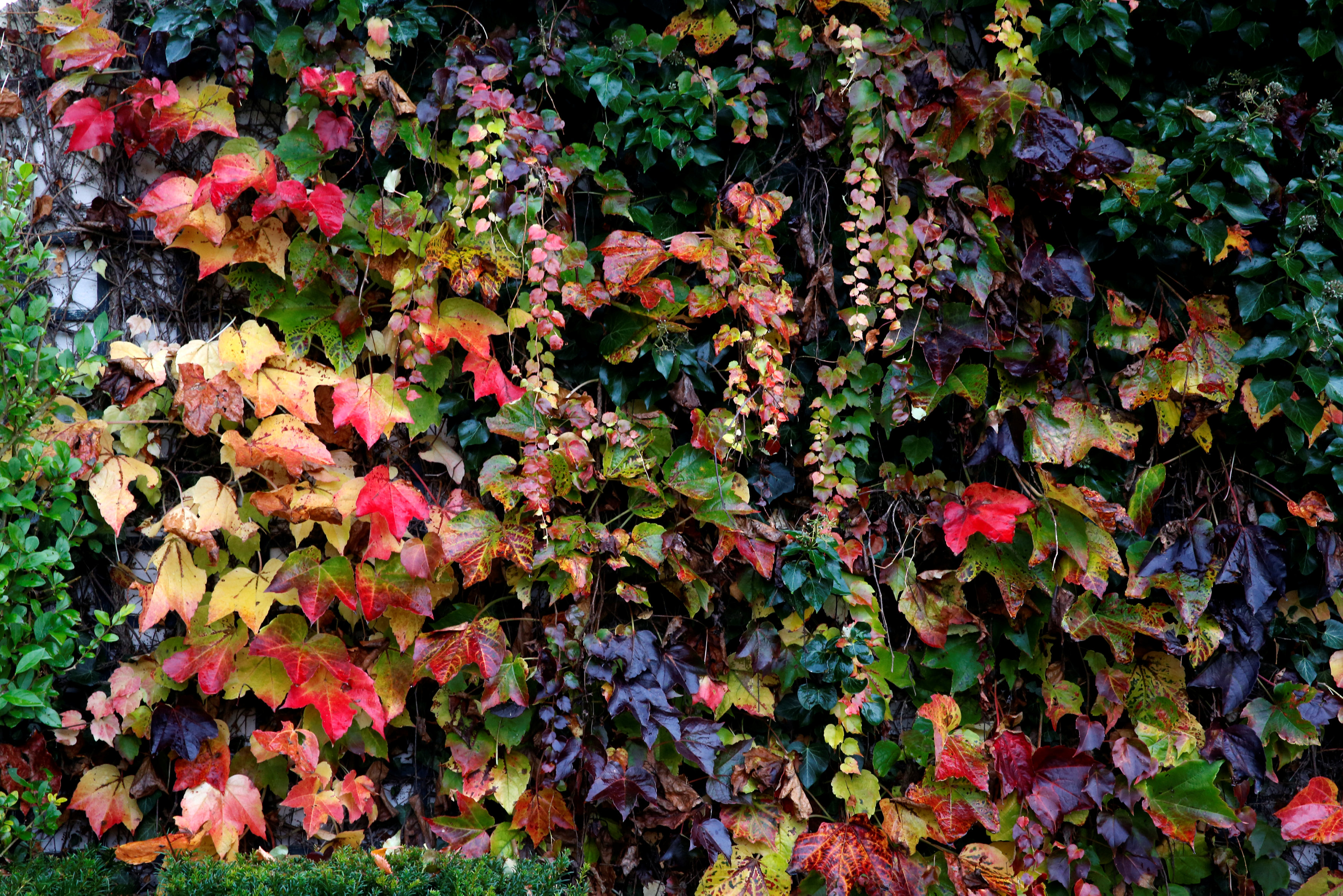 A wall with autumn leaves is pictured in Giverny, France, November 4, 2016. REUTERS/Jacky Naegelen