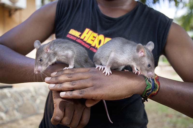 Infant rats are photographed, ahead of training to detect trafficked pangolin parts and smuggled hardwood timber, in Morogoro, Tanzania, on Friday, November 18, 2016. Photo: AP