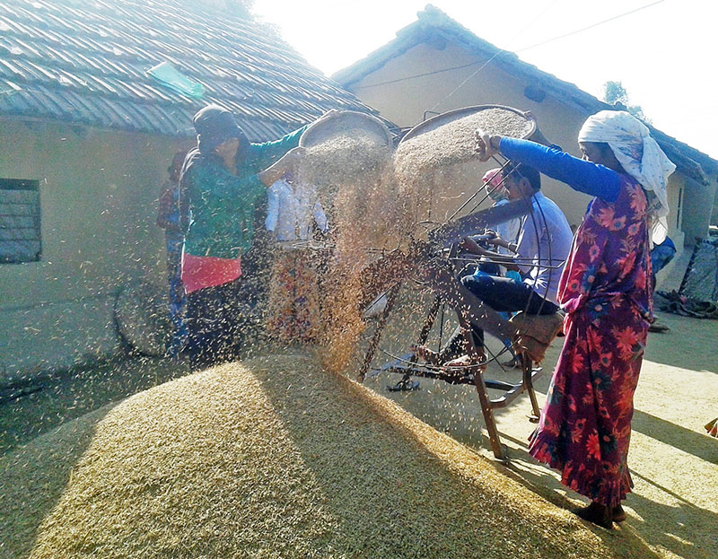 Farmers of Pipladi of Kanchanpur district clean threshed rice on Monday, November 7, 2016. Untimely rainfall at the has decreased the production of rice this year. Photo: RSS