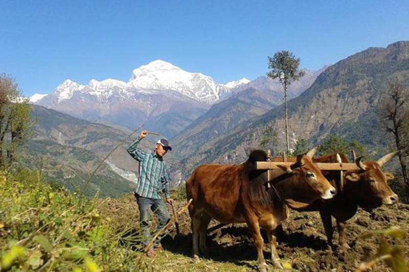 A farmer ploughes his farm using oxen in Wakhet, Patlekhet-8 of Myagdi district, on Monday, November 14, 2016. With the introduction of tractors, the use of oxen in ploughing is gradually decreasing. Photo: RSS