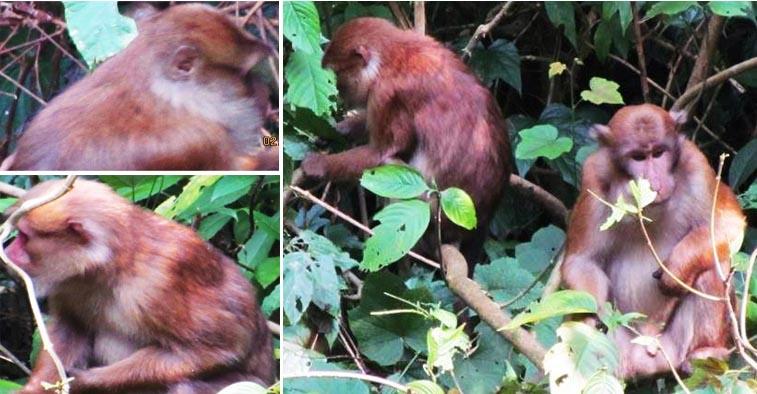 Assamese monkeys found in Nepal have white fur on their neck. Photo Courtesy: Dr Mukesh Kumar Chalise