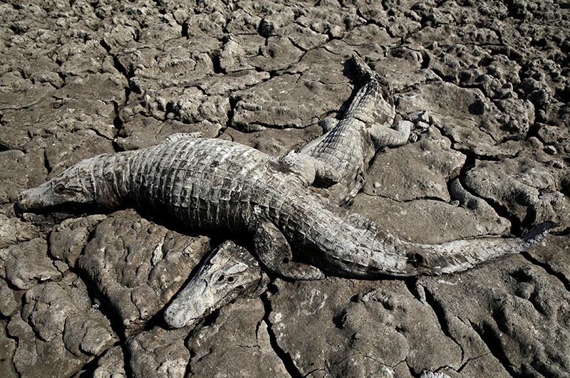 Dead yacare caimans are seen in the dried-out river bed of the Pilcomayo river in Boqueron, Paraguay, August 14, 2016. Photo: REUTERS