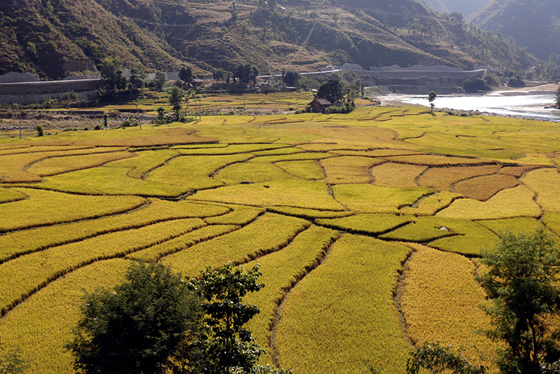 An eye-pleasing view of the paddy field in Dapcha area along the Sindhuli-Bardibas road section of the BP Highway as seen on Tuesday, 15 November, 2016. Photo: RSS
