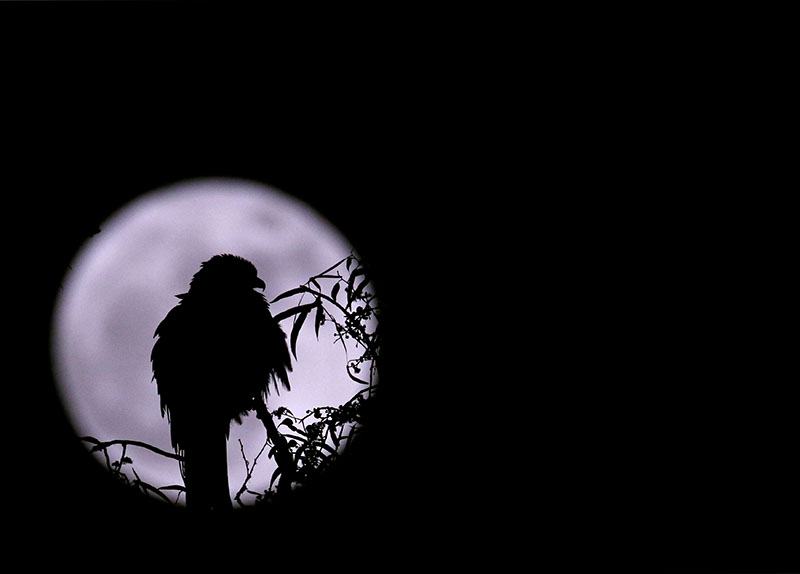 An eagle is silhouetted against the 'supermoon' in Kathmandu on Monday, November 14, 2016. Photo: REUTERS