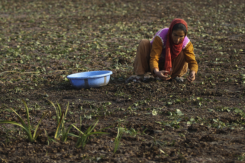 A Kashmiri woman collects chestnuts from a dried portion of Wular Lake, northeast of Srinagar, Indian controlled Kashmir, on October 29, 2016. Photo: AP