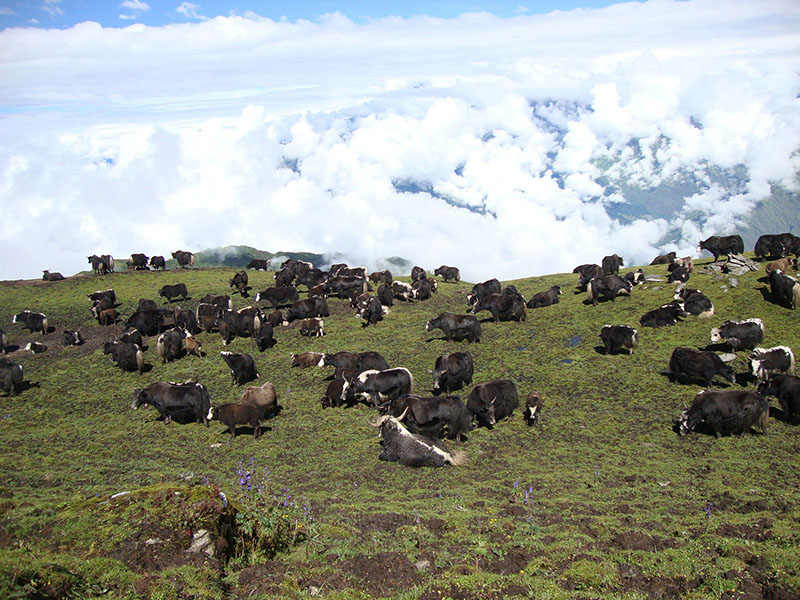 Yaks grazing at Kharka near Khopralek in Myagdi district, on Wednesday, November 23, 2016. Two schools at Paudwar and Nagi have been running with the financial assistance from the income sourced in the cattle farming. Photo: RSS