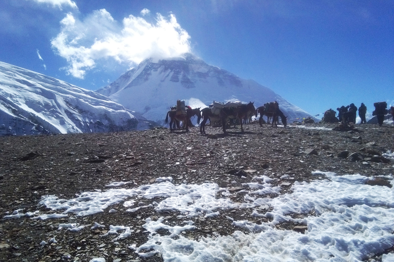 Mules take luggage of mountaineers and trekkers to the Dhaulagiri base camp in Mudi of Myagdi district, on Thursday, November 17, 2016. Photo: RSS