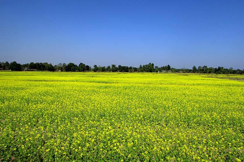 A mustard farm as seen in Nirmalbasti VDC of Parsa district, on Wednesday, November 16, 2016. Photo: Tilak Rimal/THT