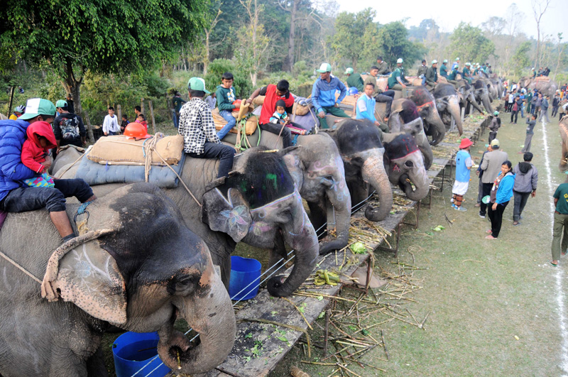 A herd of elephants take their meals as visitors observe them during the 13th Elephant Festival in Sauraha of Chitwan district, on Tuesday, December 27, 2016. Photo: Balkrishna Thapa