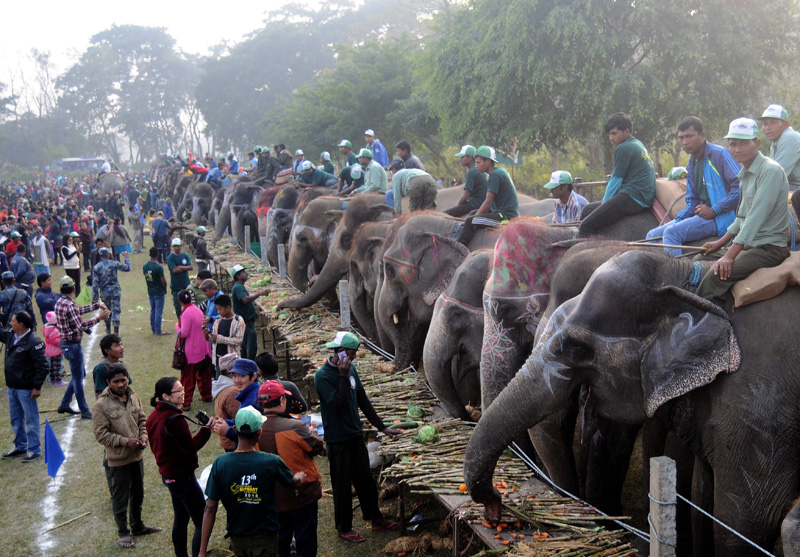 Elephants enjoy delicacies during the 13th Elephant Festival being organised in Sauraha of Chitwan district, on Tuesday, December 27, 2016. Photo: Balkrishna Thapa
