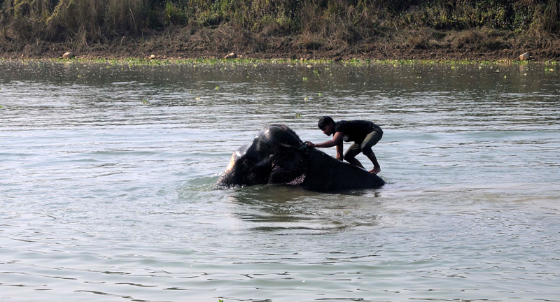 An elephant gets a bath from his mahout in Rapti River before participating on the 13th Elephant Festival in Sauhara of Chitwan, on Tuesday, December 27, 2017. Photo: Balkrishna Thapa