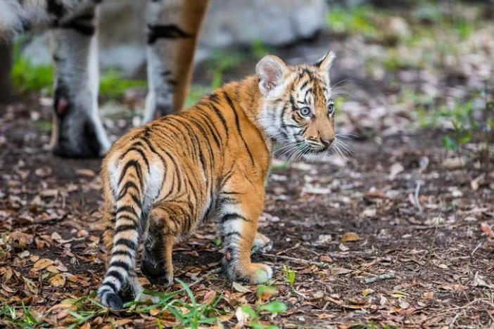 Berisi, a Malayan tiger cub, emerges from her den into the tiger habitat with her mother Bzui at Tampa's Lowry Park Zoo in Tampa, Florida, U.S. December 7, 2016.    Christina Lasso/Tampa's Lowry Park Zoo/Handout via REUTERS /File Photo