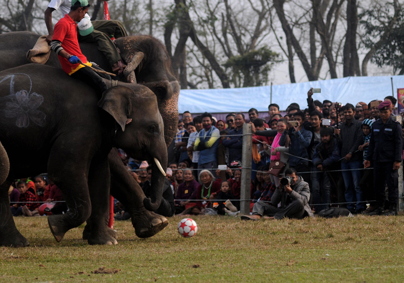 Elephants play football during the 13th Elephant Festival in Sauraha, Chiwan, on Tuesday, December 27, 2016. Photo: Balkrishna Thapa