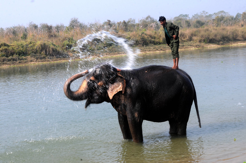 An elephant sprinkles water with its trunk after getting a bath from his mahout in Rapti River before participating on the 13th Elephant Festival in Sauhara of Chitwan, on Tuesday, December 27, 2017. Photo: Balkrishna Thapa