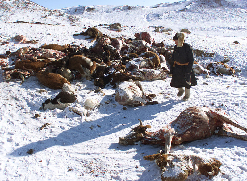 In this file photo taken February 7, 2001, a herder walks past a pile of dead animals in the hills of Hentii province after a severe snowstorm, also known as a Dzud, in Mongolia. Photo: AP