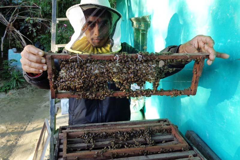 A professional beekeeping trainer Krishna Prasad Risal shows a skill of collecting honey from a modern hive, in Aamchok of Ilam, on Monday, December 12, 2016. Photo: RSS