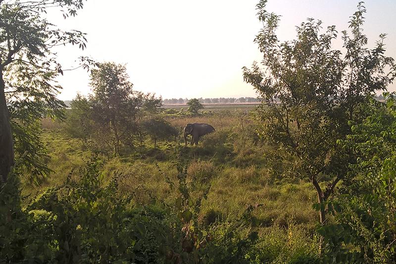 A wild elephant forages in Koshi Tappu Wildlife Reserve, in Saptari district, on Thursday, November 17, 2016. Photo: Sureis/THT