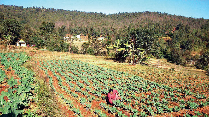 A farmer at her vegetable yard in Naubise VDC of Kavre district. Photo: THT