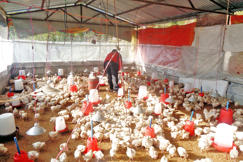 A farmer looks after the chicken at his poultry farm in Beni-7 of Myagdi district, on Friday, December 16, 2016. Photo: RSS