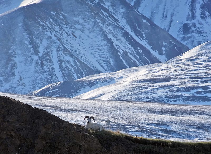 FILE -  A Dall sheep lounging on a ridge line in Denali National Park and Preserve, Alaska, on September 2, 2015.  Photo: AP