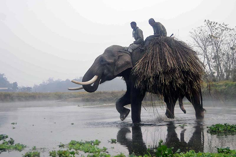 An elephant is seen in the Chitwan National Park in Sauhara of Chitwan, on Monday, December 26, 2016. Photo: Bal Krishna Thapa/THT