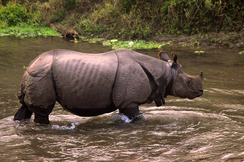 FILE: A wild one-horn rhino seen in the Chitwan National Park in Sauhara of Chitwan, on Monday, December 26, 2016. Photo: Bal Krishna Thapa/THT