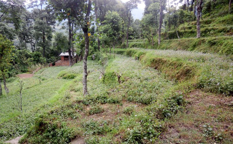As youth have gone abroad, lack of human resource has left land barren in Myagdi district as seen in the picture taken on Friday, January 20, 2017. Photo: RSS