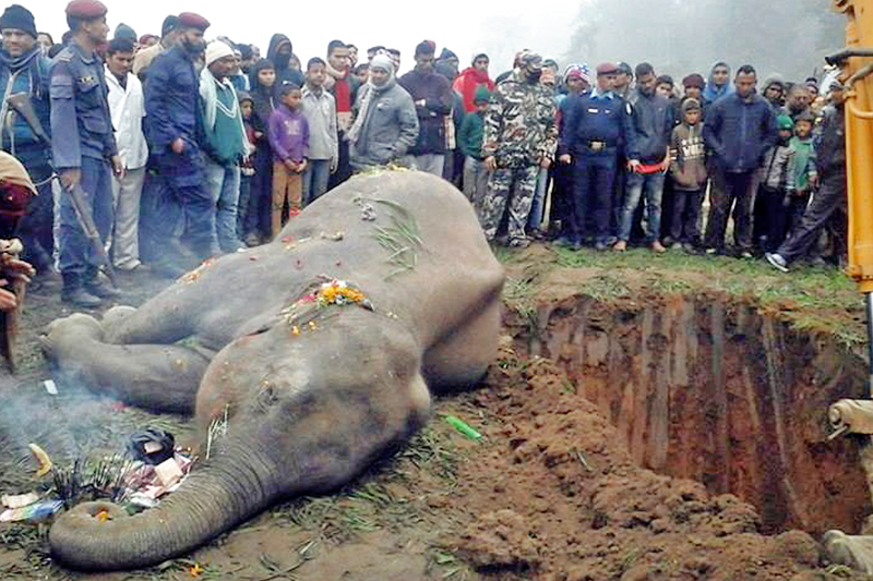 Locals give a funeral to an elephant after it was found dead in Punarbas Municipality of Kanchanpur district, on Friday, January 6, 2016. Photo: RSS