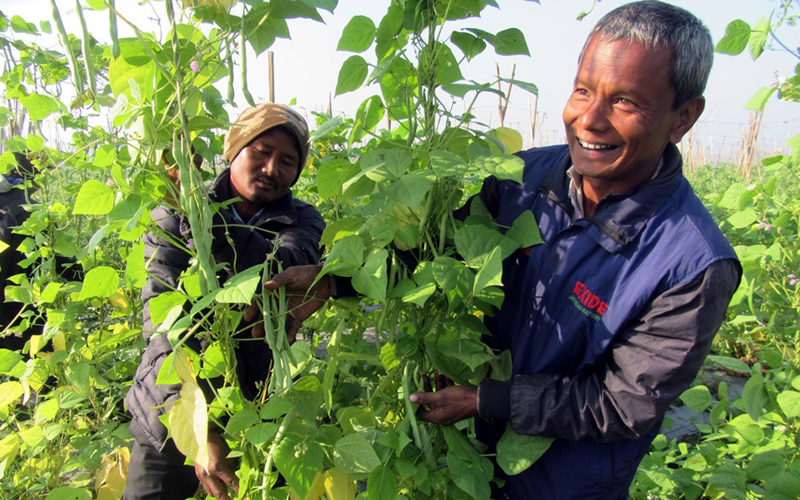 A local farmer in Itahari of Sunsari district smiles at the beans he cultivated, as captured on Wednesday, January 4, 2017. Photo: RSS