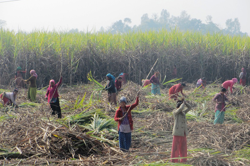 FILE - Sugarcane farmers of Beldandi in Kanchanpur district harvest the crops, on Friday, January 13, 2017. Photo: RSS