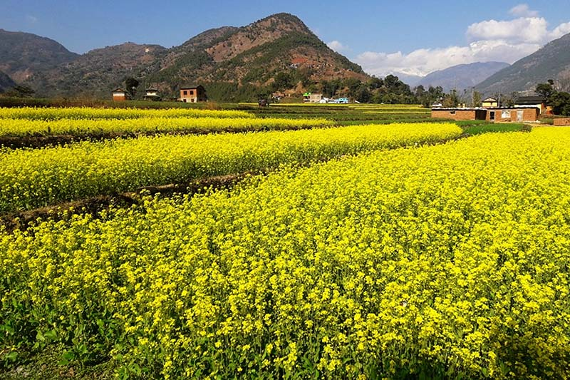 Mustard plants grown in an open field as seen in Ratnachaur of Beni in Myagdi district, on Wednesday, January 11, 2017. Photo: RSS