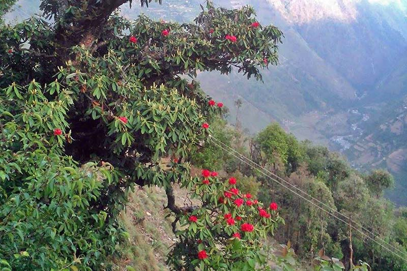 Early rhododendrons are seen in Jajarkot district, on Monday, January 2, 2017. Rhododendrons generally do not bloom during Januaries. Photo: RSS