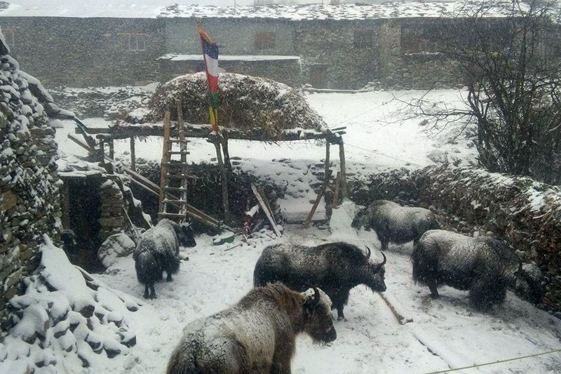 Yaks shiver with cold after a snowfall in eastern part of Gorkha district, on Friday, January 27, 2017. Photo: RSS