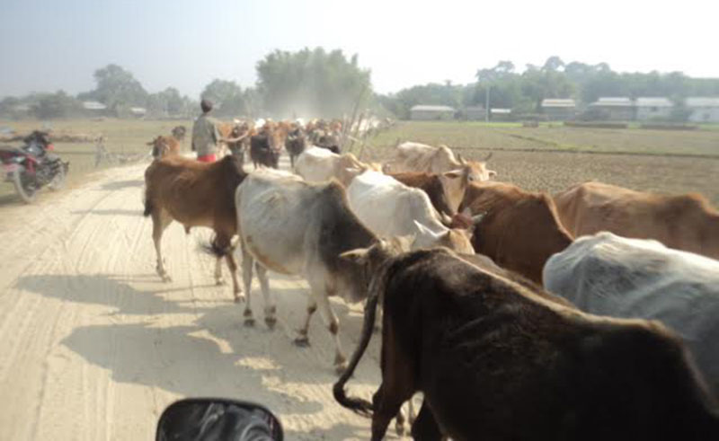 Cattle being smuggled to India from Beltar Bazaar of Udayapur, on Tuesday, January 10, 2017. Photo: THT